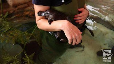 Photo of platypus